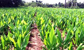Turmeric Crop